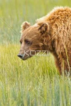 brown bear eating - A brown bear eating grasses in Denali National Park