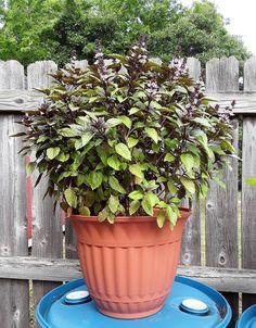 Herb Garden, Vegetable Garden, Garden Fun, Flower Seeds, Flower Pots, Cinnamon Basil, Painted Clay Pots, Pepper Seeds, Garden Seeds