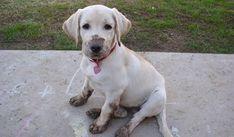 cute labrador puppy mud