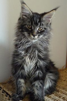 Maine Coon kitten at www.coolcattreehouse.com