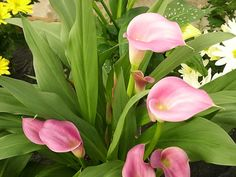 Pink Calla Lily Flowers