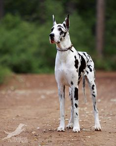 Harlequin Great Dane ~ You mean I can have my very own indoor pet cow?! :D