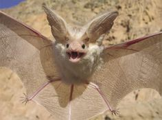 Scorpion Stings Just Ain't No Thang For the Desert Long-eared Bat : The Featured Creature Beautiful Creatures, Animals Beautiful, Cute Animals, Bat Flying, Cute Bat, Creatures Of The Night, Tier Fotos, Mundo Animal, Albino