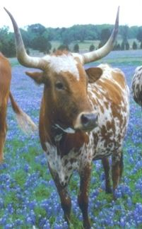 Texas Longhorn - you could always see longhorns in front of the Westinghouse plant Georgetown, Texas