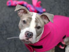 TO BE DESTROYED MON 1/6/14- Manhattan Center    ZAHO - A0988310   FEMALE, TAN / WHITE, PIT BULL MIX, 1 yr  STRAY - STRAY WAIT, NO HOLD Reason STRAY   Intake condition NONE Intake Date 12/27/2013, From NY 11213, DueOut Date 12/30/2013   Previous thread: https://www.facebook.com/photo.php?fbid=732534013426147&set=a.617938651552351.1073741868.152876678058553&type=3&permPage=1