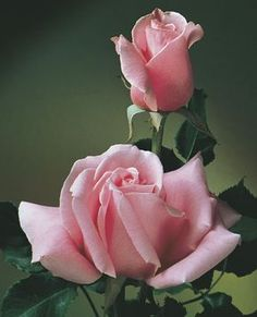 JP: Bewitched (Queen Elizabeth) - Even Cotton Candy Pink Hybrid Tea Roses