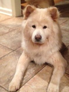 Meet BOBO, a Petfinder adoptable Chow Chow Dog | Dix Hills, NY | BOBO IS A HANDSOME CREAM COLORED CHOW CHOW.  HE IS NO MORE THAN TWO YEARS OLD.  HE GETS ALONG WELL...
