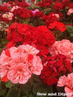 Understanding Geraniums and Pelargoniums - Sow & Dipity Pelargoniums  Seed Geraniums- As the name suggests are started from seed. They take longer to bloom, the flowers and leaves are generally smaller and they don't get much higher than a foot or so  near the end of summer when other annuals are declining, my seed geraniums are filled in and continue to flower until the first hard frost.