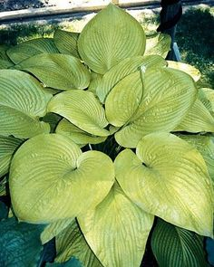 "Hosta 'Key West' - Zone: 3-7, Height: 29"", Culture: Light Shade, Origin: Hybrid"