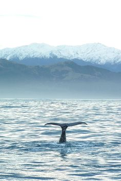 Sperm whale, Kaikoura, Canterbury, South Island, New Zealand