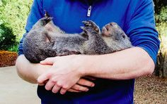 Douglas The Wombat Really Loves Belly Rubs And It Is Adorable - He's just like a puppy! A fat, hairy puppy.