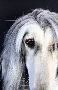 Looks like Todd the Wraithe Hound Breeds, Hound Dog, Beautiful Creatures, Animals Beautiful, Most Beautiful Dogs, Tibetan Terrier, Afghan Hound, Dog Cat, Pet Pet