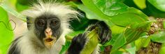 Trust safaris offers tour in Jozani forest, Zanzibar - the home of rare Red Colobus Monkey. This trip is for nature lovers to experience the thrilling fascination of walking through large palm trees.