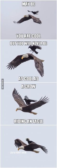 A crow riding an eagle