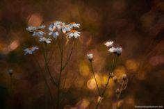 daisies & flares