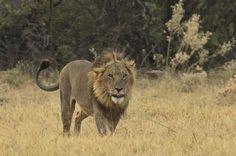 Lion Pesky Flies by Ken Watkins on 500px