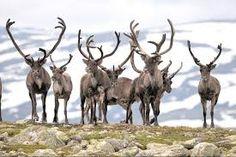 reinsdyr - Google-søk Moose Art, Animals, Animales, Animaux, Animal, Animais