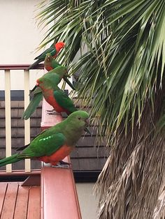 Beautiful king parrots lined up neatly in order on our balcony.