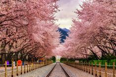 South Korea, Jinhae. Cherry Blossoms (Sakuras) Jinhae is a pretty famous place in Korea for their Cherry Blossoms. Yeojwacheon is a famous stream with acherry blossoms. Gyeonghwa Station is also known for the cherry blossom tunnel over the railway.