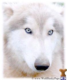Wolf Dog Puppy for Sale: WOLF HYBRID PUPS 4 Months old