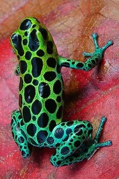 Zimmerman's poison frog