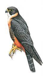 Orange-breasted Falcon (Falco deiroleucus)