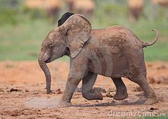 baby elephant - Google Search Elephant Love, Elephant Art, African Elephant, African Safari, Baby Elephants, Cute Baby Animals, Animals And Pets, Elephant Photography, Cute Animal Pictures