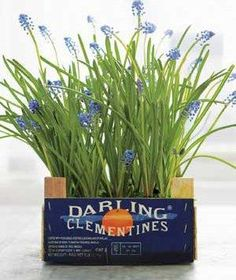 For a hint of spring any time of year, coax bulbs into flowering indoors. Grape Hyacinths shown here.