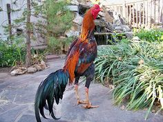 KING GHAZI: Brazilian Asil Chicken Roost, Pigeon Pictures, Chickens And Roosters, Chicken Breeds, Picture Description, Cat Breeds, Dog Cat, Birds, Image