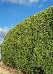 CUPRESSOCYPARIS LEYLANDII  Castlewellan - Fast growing dense evergreen conifer with golden foliage. Grows 2-2.5ft (60-75cm) a year. Can be kept as small neat hedge as long as it is regularly well pruned. 2013