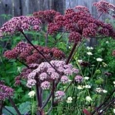 Angelica sylvestris 'Purpurea' - Angelik