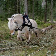 Image result for fjord horse in harness image