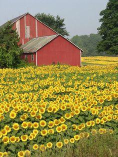 Sunflowers with barn, Flamborough, Hamilton, Ontario, Canada