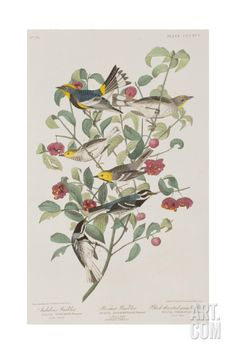Illustration from 'Birds of America', 1827-38 Giclee Print by John James Audubon at Art.com