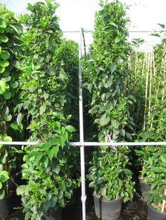 Actinidia arguta 'Weiki' / Zwerg-Kiwi 'Weiki' – eine Schlingpflanze, die bis zu 3-4m hoch wird und leckere, walnussgroße Kiwis als Früchte bildet