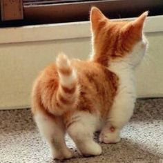 midget cat. adorable.