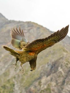 New research has determined that New Zealand's clever kea parrot produces laughter-like calls that are contagious and promote playful behavior — and is the first known non-mammal to do so.