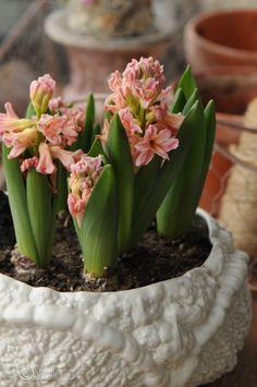 Hyacinthus orientalis 'Gipsy Queen'. Photo Saila Routio.