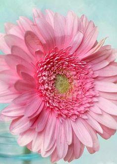 flowersgardenlove:  Pink Daisy Beautiful gorgeous pretty flowers