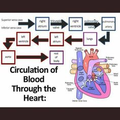 Cardiac Nursing, Nursing Mnemonics, Circulatory System For Kids, Endocrine System, Arte Com Grey's Anatomy, Nursing School Notes, Nursing Schools, Medical School, Respiratory Therapy