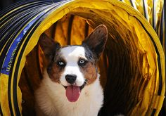 """52 Weeks For Dogs: """"31/52 """"Tunnel!"""" by Koratcats, via Flickr"""