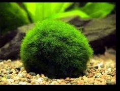 1000 images about betta community aquarium on pinterest for Betta fish moss ball