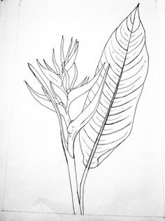 Heliconia spp. Line drawing, ink.