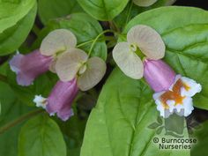 Buy Dipelta Ventricosa plants from Burncoose Nurseries