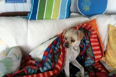 Harlow's Freedom & The Pet Protector Chip Labrador Retriever, Freedom, Pets, Animals, Relationships, Check, Labrador Retrievers, Liberty, Political Freedom