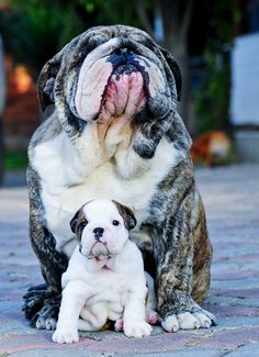 English bulldogs are very special dogs with a unique personality, temperament and character.