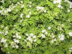 Murta de Cheiro (Murraya paniculata)