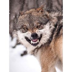 A snarling mexican grey wolf at the Brookfield Zoo in Illinois