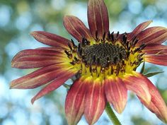 Happy Red Sunflower Photo Prints and cards by Christina Shaskus Available at Fine Art America