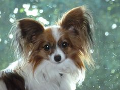 Sunny #papillon #dog